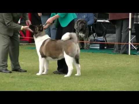 Akita Judging Parramatta & Dist Dog Show 22/06/2014