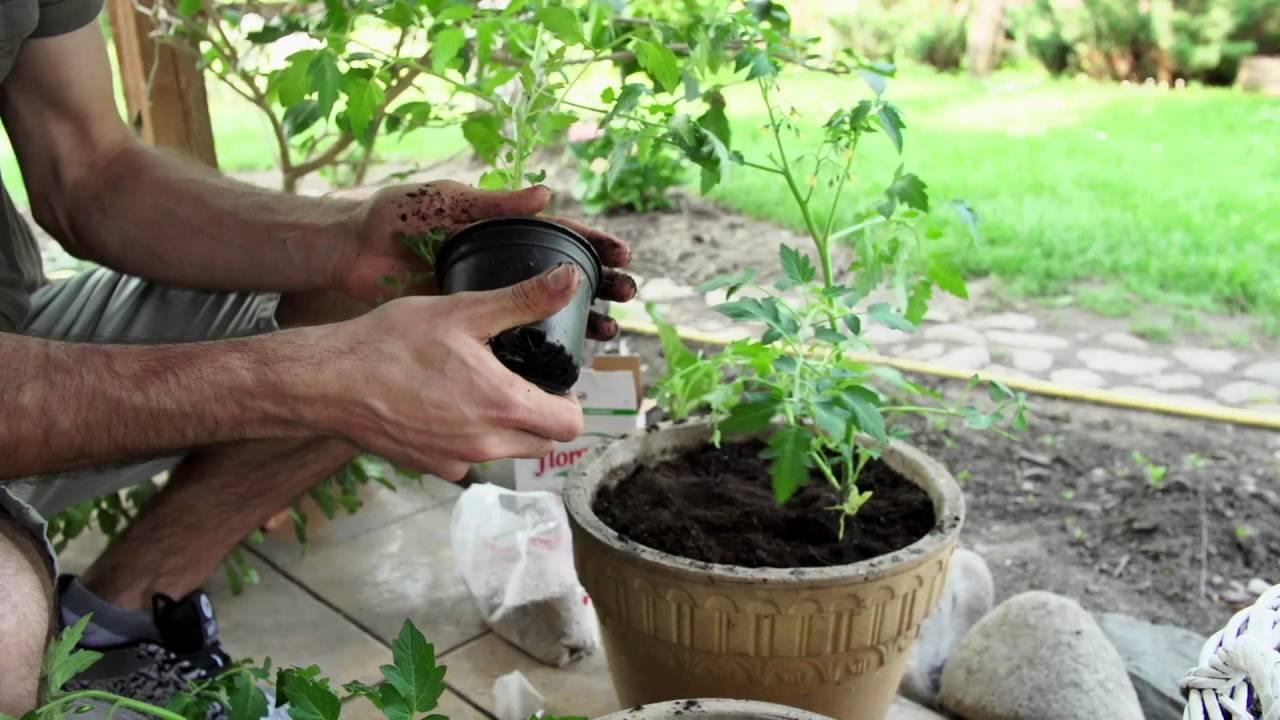 Jak Uprawiać Pomidory Na Balkonie