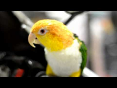 D90 Video (HD) – Stinkie the White Bellied Caique