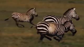 Too brave! powerful hero buffalo come to rescue poor zebra escape lions #4