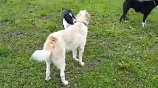 Сука защищает щенка, который своими играми достал кобеля)))