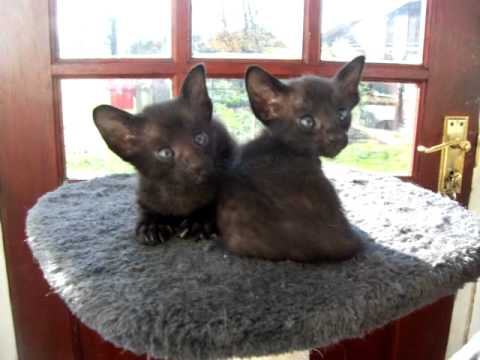 Black Oriental Kittens