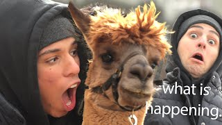 WE PARTIED AT A LLAMA FARM (jk they're alpacas) | Work It Out w/ Larray & Twaimz EP 2