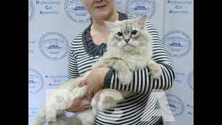 Сибирский кот блю-табби-пойнт. Выставка кошек PCA on-line