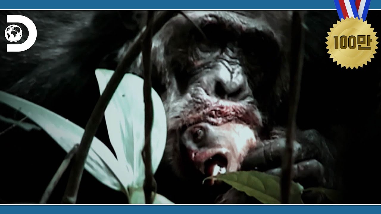 전략적으로 원숭이를 사냥하는 침팬지 군단 [디스커버리 애니멀 : 전사 유인원들의 진화]