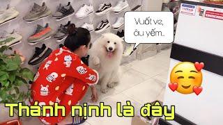 Chó samoyed nịnh chủ như thế nào? (Samoyed dog)