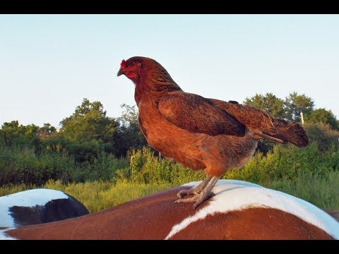 Look Chickens Can Ride Too!
