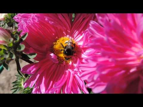 шмель на цветке астре