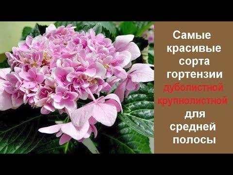 ❀ Самые красивые сорта гортензии дуболистной и крупнолистной для средней полосы