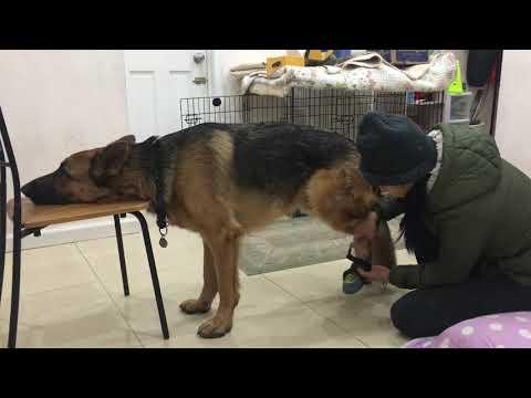 2-Year Old German Shepherd Rambo Tried On Dog Booties