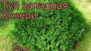 Туя западная Хозери (thuja occidentalis hoseri) ???? туя Хозери обзор: как сажать саженцы туи Хозери