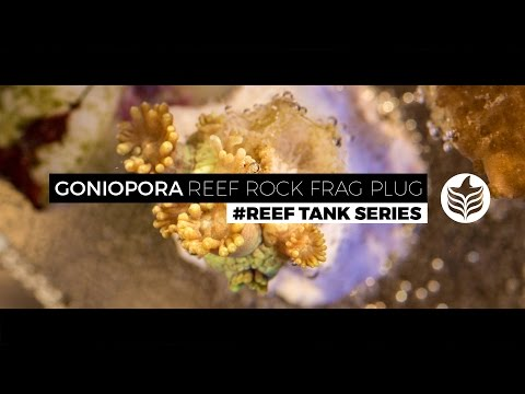 #Reef Tank Series - Goniopora CaribSea Reef Rock Frag Plug (Propagation/Fragmentation/Reproduction)