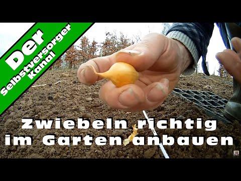 Zwiebeln Richtig Im Garten Anbauen Youtube