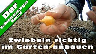 Zwiebeln richtig im Garten anbauen