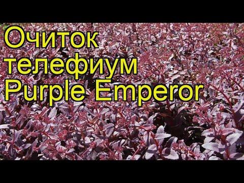 Очиток телефиум Пурпурный Император. Краткий обзор, описание sedum telephium Purple Emperor