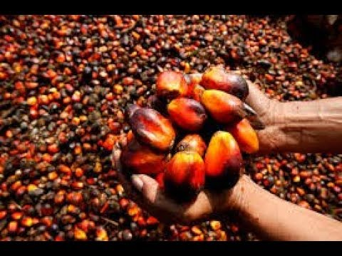 GoldenCRI BUS: How to develop a Palm oil and Agricultural Preservation Business