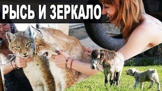 РЕАКЦИЯ РЫСЕЙ НА ОТРАЖЕНИЕ В ЗЕРКАЛЕ / Встреча щенка Тайпана с ПОНИ
