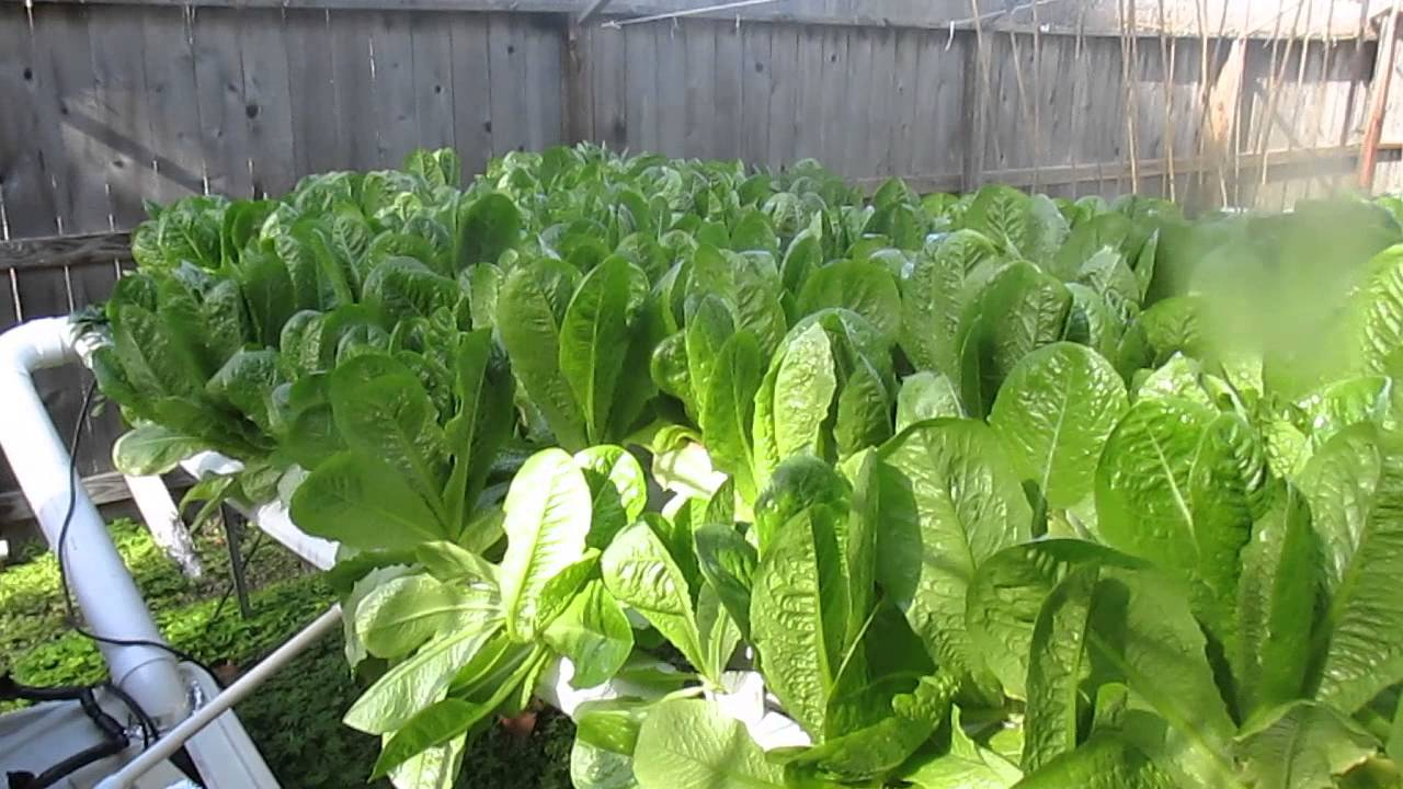 hydroponic lettuce in texas youtube. Black Bedroom Furniture Sets. Home Design Ideas