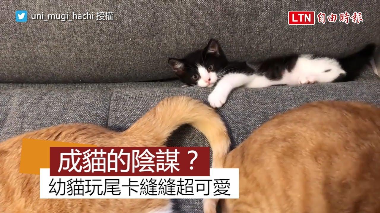 幼貓玩成貓尾卡沙發縫超可愛 網友笑稱:「根本是成貓的陰謀!」