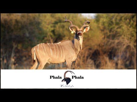 Kudu Bull Jomo 66 1/2