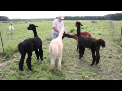 Ocean Breeze Alpaca Farm On Switching to Solar - Paradise Energy Solutions