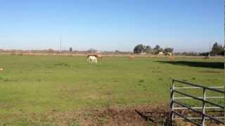 Horse Herd Behavior - New Horses Meet- Herd Language- Mean Horses- Rick Gore Horsemanship thumbnail