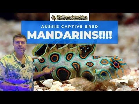 Aussie Captive Bred Mandarin Fish!!!
