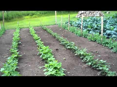 Despite The Heatwave Garden Is Growing Great... #37 Heirloom Organic Vegetable Garden