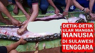 Video detik-detik Wanita di Sulawesi Tenggara dimangsa Ular Piton, Begini Jasadnya
