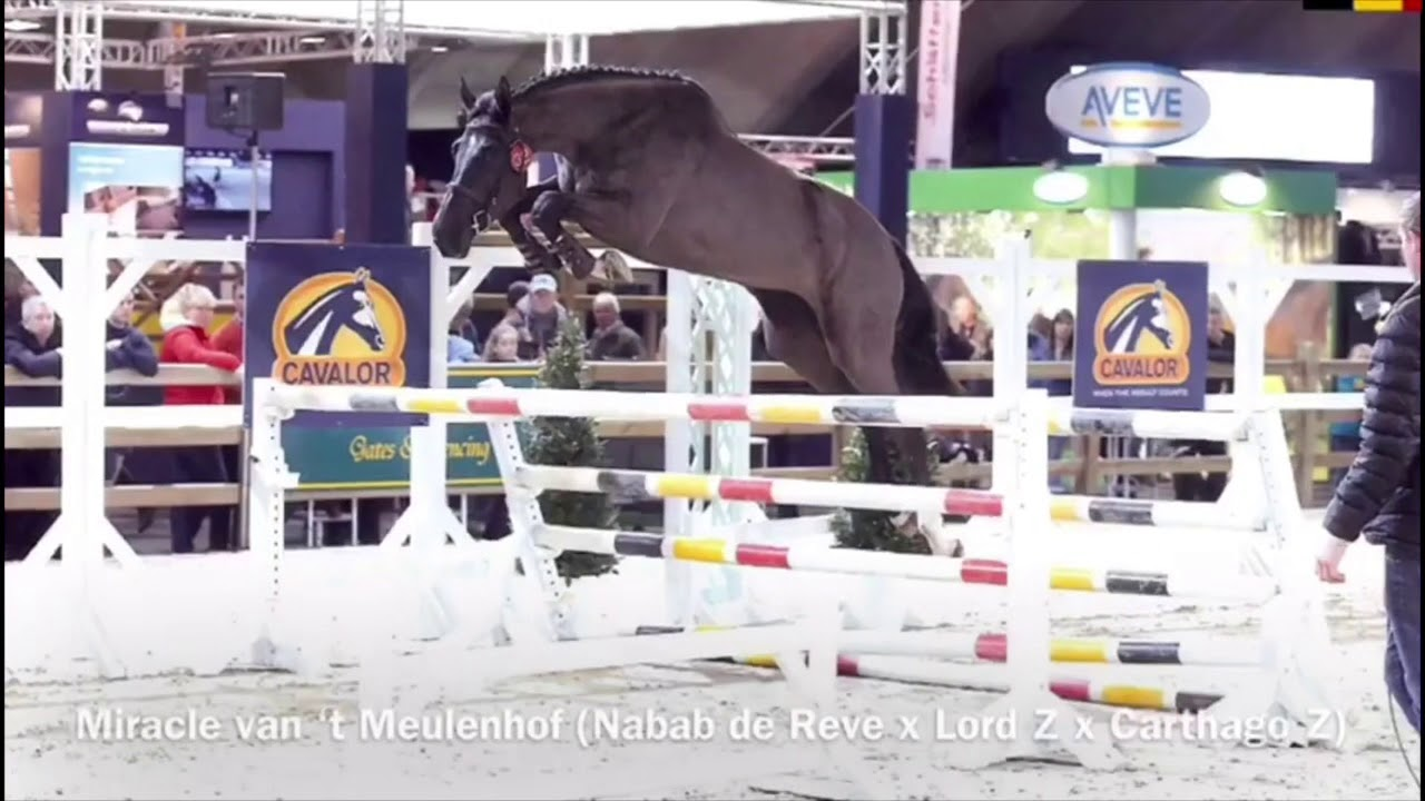 Miracle van't Meulenhof (Nabab de Reve x Lord Z x Carthago Z) Mother is jumping 1.60m