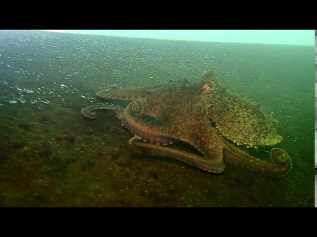 California Two Spot Octopus 08/27/20