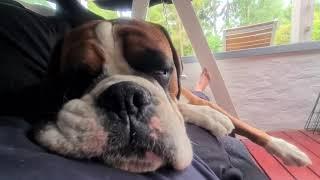 Boxer Rex sleeping in hammock swing with dad!  Little brother Sammie jealous!