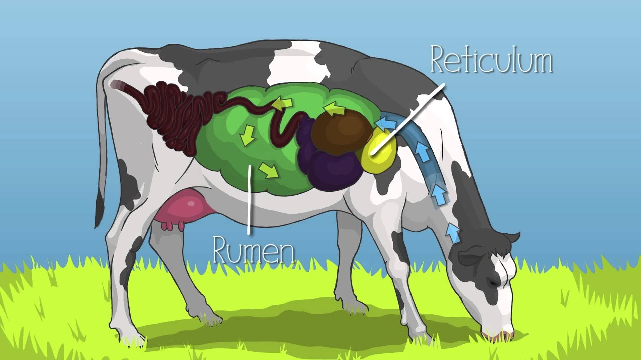 Cow Digestive Tract: Mobile Dairy Classroom: Learn About Cattle Eating Habits