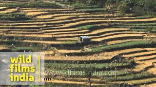 Terraced paddy fields in Khonoma Green Village, Nagaland