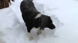 Dog Chowing Down on Snow Thumbnail