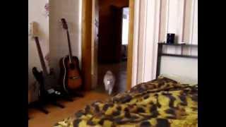 Почему кот ведет себя как собака?