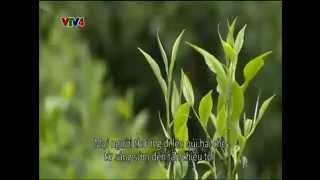 Vietnam Discovery: Shan Tuyet green tea in Hoang Su Phi, Ha Giang | 30/06/2014