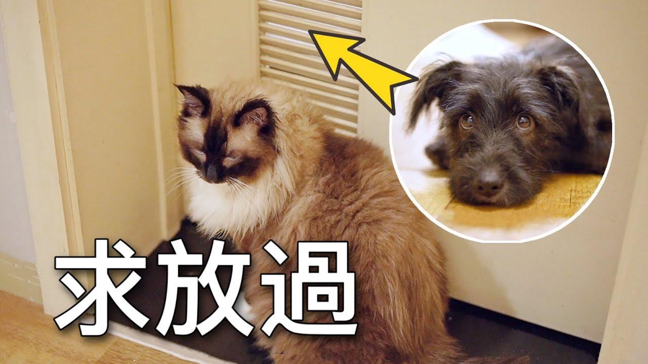 【李喜貓】小狗拆家被關小黑屋,布偶貓為救狗求主人開門,感動落淚