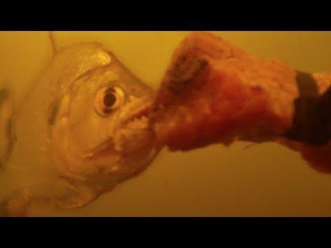 Piranha Feeding Frenzy Caught On Underwater Camera! | BBC Earth