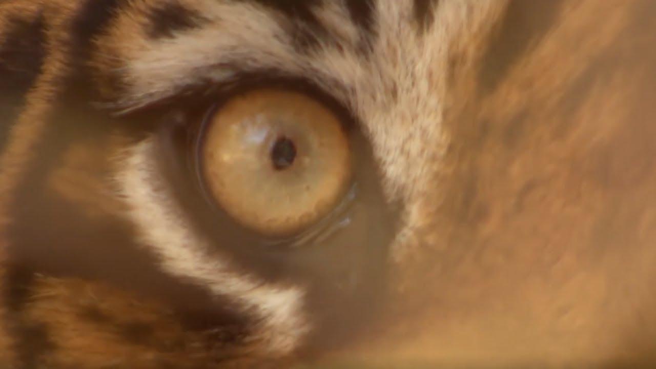 Top 5 Tiger Moments | Part 2 | BBC Earth