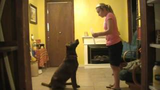 Amazing Labrador Tricks Meet Shanell Brown And Be Amazed
