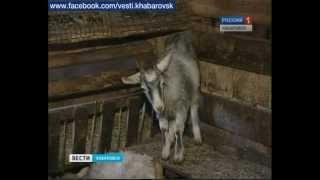 Вести -- Хабаровск. Животные колкости