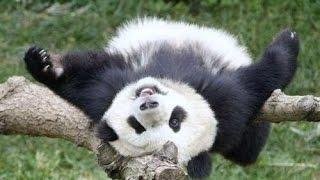 Смешные и милые панды/Funny pandas