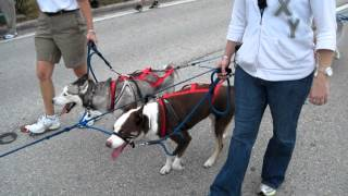 Sandy Paws Sled Dog Club of Tampa Bay at Seminole Pow Wow Parade 2012