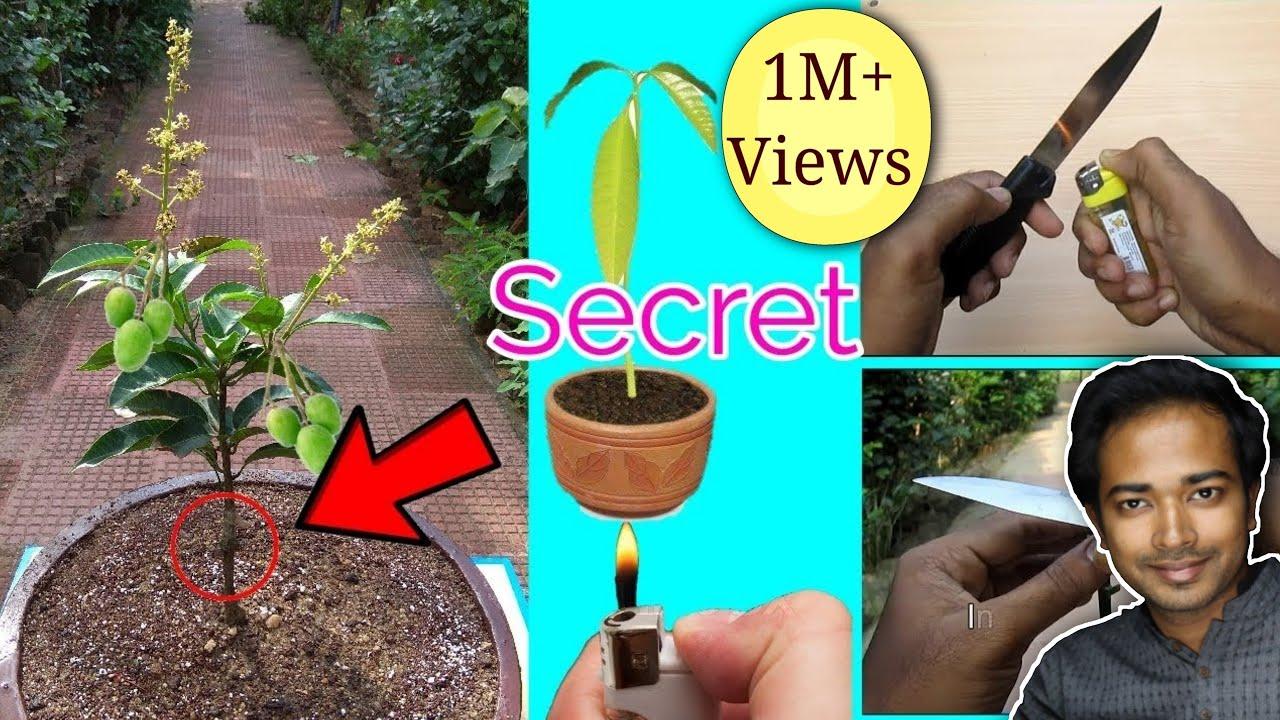 How To Graft And Grow Mango In Pot Mango Bonsai Youtube