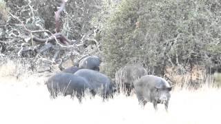 Hogs after a rain