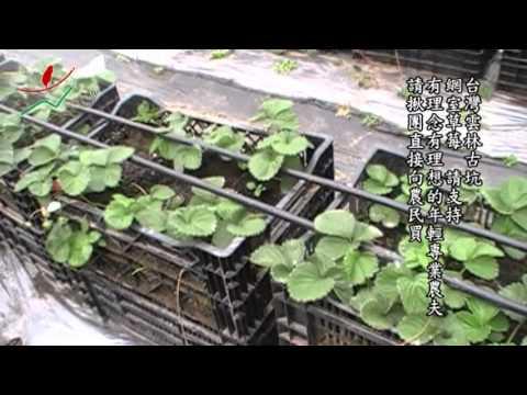 15-古坑-網室草莓-請支持有理念有理想的年輕專業農夫