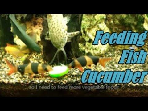 Feeding Tropical Fish - Fresh Boiled Cucumber