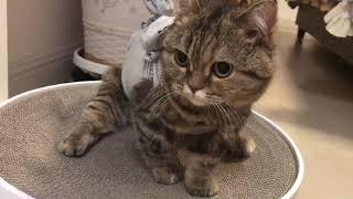 Funny cat so cute 丨Cat who has undergone sterilization Munchkin丨TOP cat