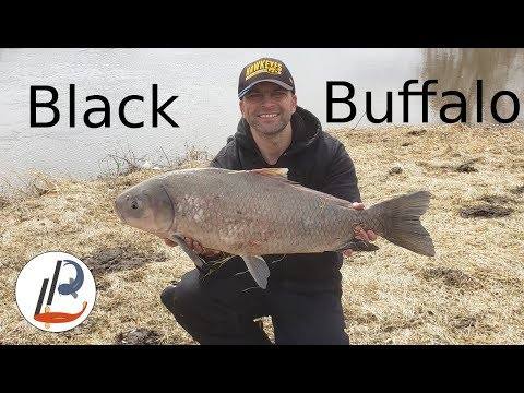 Black Buffalo - How To Catch And ID